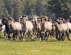 Wildpferdefang 2019 im Merfelder Bruch (Dülmen) (Light and shade by Monika) Tags: horse wildpferd wildlife