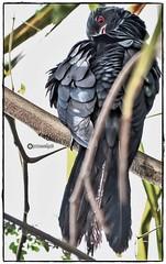 Asian Koel Male (Ramalakshmi Rajan) Tags: asiankoel male koel birds bird inmygarden