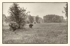 Meadow (enneafive) Tags: overbroek meadow pastoral bucolic wetland trees nature monochrome pollardwillow grass flowers spring mist fog fujifilm xt2 affinityphoto