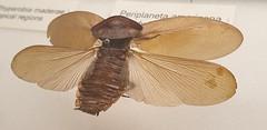 Nailed It (standhisround) Tags: wingwednesday hww wings cockroach insect museum nationalhistorymuseum tring exhibit petasodesreflexa southamericancockroach