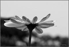 Daisy (Verma Ruchi) Tags: daisy flower sky bw white