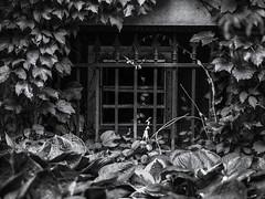 Window (kristenscotti) Tags: chicago university blackandwhite bw absoluteblackandwhite window outside garden ivy gothic architecture hydepark olympus75mm 75mm uchicago penf olympus