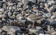 I'll move so you can see me (davidrhall1234) Tags: ringedplovercharadriushiaticula ringedplover plover ardmucknishbay argyll scotland bird birdsofbritain beak camouflage coastal coast feather nature nikon outdoors shoreline shore sea springwatch bbcspringwatch wildlife world