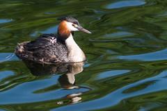 DSC_0525.jpg (Kemm99) Tags: greatcrestedgrebe birds grebes nature