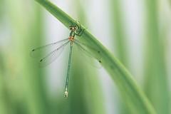 Emerald damselfly (explored) (Janette Paltian) Tags: janettepaltian sony makro macro green grün 90mm nature natur libelle damselfly dragonfly lestessponsa gemeinebinsenjungfer emeralddamselfly