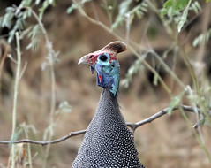 I love blue (eric zijn fotoos) Tags: sonyrx10m4 sony sonyrx bird vogel safari southafrica zuidafrika afrika africa blue blauw kruger krugerpark tarentaal guineafowl