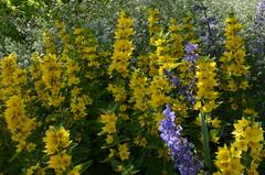 Soleil de juin (RarOiseau) Tags: fleur jaune printemps juin hautesalpes jardin