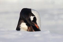 Gentoo Penguin portrait - scratching its head (Paul Cottis) Tags: gentoo penguin nekoharbour ice antarctica antarcticpeninsula pinguino papua paulcottis 3 february 2019 feb