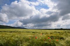 Coquelicots dans la récolte (Croc'odile67) Tags: nikon d3300 sigma contemporary 18200dcoshsmc paysage landscape ciel cloud sky nature nuages champ campagne coquelicots poppies