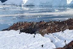 Gentoo Penguins on the rocks and ice below us (Paul Cottis) Tags: gentoo penguin nekoharbour ice antarctica antarcticpeninsula pinguino papua paulcottis 3 february 2019 feb