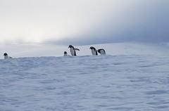 Gentoo Penguins coming over the icy hill (Paul Cottis) Tags: gentoo penguin nekoharbour ice antarctica antarcticpeninsula pinguino papua paulcottis 3 february 2019 feb