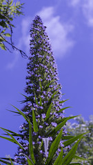 Head in the clouds! (Wendy:) Tags: echium bees blue