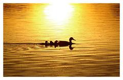 On A Golden Water... (M.L Photographie) Tags: nature oiseaux birds sun water soleil eau france normandie eure sony dschx400v