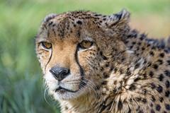 One of the cheetahs (Tambako the Jaguar) Tags: cheetah big wild cat male lying resting relaxing portrait face sunny looking pretty grass lionsafaripark johannesburg southafrica nikon d5