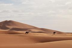 Erg Chebbi (Simoniini) Tags: ergchebbi marocco marokko merzouga dunes dünen wüste desert camel kamel