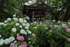 A Temple of Hydrangea (seiji2012) Tags: japan kawasaki temple hydrangea flower myorakuji nagao 川崎 長尾 あじさい寺 アジサイ 妙楽寺 happyplanet asiafavorites