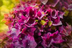 Deep purple Hydrangea (judy dean) Tags: 365the2019edition 3652019 day161365 10jun19 judydean 2019 potplant hydrangea purple flowers texture ps