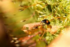 DSC_8506 (Hachimaki123) Tags: 日本 japan 御岳山 mitakesan mtmitake animal insect insecto coleopter coleóptero coleopteran coleoptero 虫 動物 ladybug mariquita
