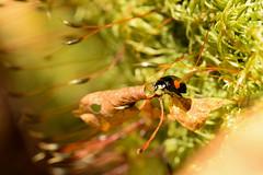 DSC_8504 (Hachimaki123) Tags: 日本 japan 御岳山 mitakesan mtmitake animal insect insecto coleopter coleóptero coleopteran coleoptero 虫 動物 ladybug mariquita