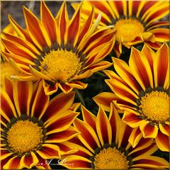 Gazania (♥ Annieta ) Tags: annieta mei 2019 nederland netherlands krimpenerwaard tuin garden jardin flower fleur bloem flora gazania allrightsreserved usingthispicturewithoutpermissionisillegal raynox macro sonya6000