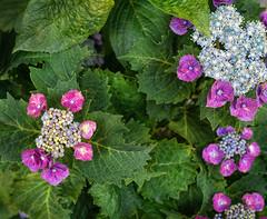 Pink hydrangea (Tim Ravenscroft) Tags: hydrangea pink flower kyoto japan hasselblad hasselbladx1d