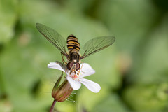 feeding (KevPBur) Tags: canon70200mmf28lisiiusm canon80d canonextenderef14xiii episyrphusbalteatus gardensafari hoverfly marmaldefly polaroid500dcloseuplens flower