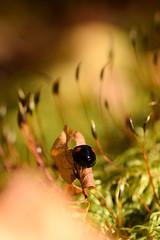 DSC_8508 (Hachimaki123) Tags: 日本 japan 御岳山 mitakesan mtmitake animal insect insecto coleopter coleóptero coleopteran coleoptero 虫 動物 ladybug mariquita