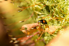 DSC_8507 (Hachimaki123) Tags: 日本 japan 御岳山 mitakesan mtmitake animal insect insecto coleopter coleóptero coleopteran coleoptero 虫 動物 ladybug mariquita