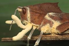 Beauveria locustiphila on grasshopper (Scrubmuncher) Tags: beauverialocustiphila fungi insect grasshopper peru macro entomophagous