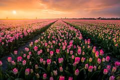 Tulipfields (martijnvdnat) Tags: agricultuur lente zonsopkomst akkerbouw bloemen bloemenboer bloementeelt bolgewas bollenteelt bollenveld hollands kweker kwekerij landbouw landelijkgebied nederland noordholland polder schermerhorn schermermolens toerisme tuinbouw tulpen tulpenveld voorjaar windmolen windmolens