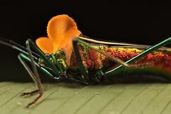 Sundarus sp. (Scrubmuncher) Tags: sundarus hemiptera bug insect macro peru