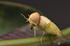 Chlorotabanus cf inanis (Scrubmuncher) Tags: chlorotabanus tabanidae horsefly diptera insect macro peru