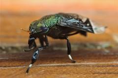 Chrysopsinae (Scrubmuncher) Tags: deerfly tabanida diptera insect macro peru