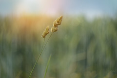 Run Wild... (KissThePixel) Tags: cornfield corn field nature wildlife grass light sunlight beautiful summer latespring spring helios vintage vintagelens 58mm f2 bokeh bokehlicious macro makro helios44m4