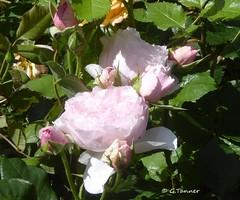 Grüße aus meinem Rosengarten ... (tannertext) Tags: garten garden giardino rosen rosengarten rosenliebe
