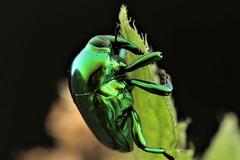Eurhinus sp. (Scrubmuncher) Tags: eurhinus weevil vine macro peru beetle insect