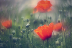poppy_3 (ang-yan) Tags: poppy helios 44m4 58mm f2 with inverted front lens ©angel yanev