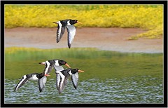OYSTER CATCHERS (PHOTOGRAPHY STARTS WITH P.H.) Tags: nikon d4s 200500mm afs vr black hole marsh devon