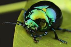 Platyphora sp. (Scrubmuncher) Tags: platyphora leafbeetle chrysomelidae insect macro peru
