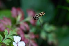 Patrol (KevPBur) Tags: canon70200mmf28lisiiusm canon80d canonextenderef14xiii episyrphusbalteatus gardensafari hoverfly marmaldefly polaroid500dcloseuplens flower