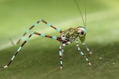 Bush cricket nymph (Scrubmuncher) Tags: peru macro insect nymph orthoptera bushcricket