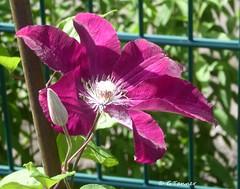 Grüße aus meinem Rosengarten ... (tannertext) Tags: garten garden giardino clematis