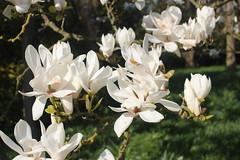 Magnolia Flowers, Cambridge Botanical Gardens, 1st April 2019 (1) (Phil Masters) Tags: magnolia trees flowers 1stapril april2019 cambridgebotanicalgardens botanicalgardens gardens cambridge cambridgeshire cambridgebotanicgardens