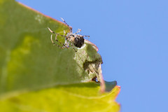 Clearly (KevPBur) Tags: canon80d canonextenderef14xiii gardensafari polaroid500dcloseuplens blue green leaf spider translucentbody