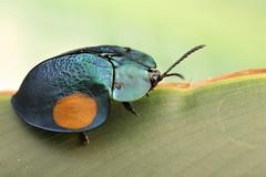 Tortoise beetle (Scrubmuncher) Tags: tortoisebeetle cassidinae chrysomelidae beetle insect macro peru