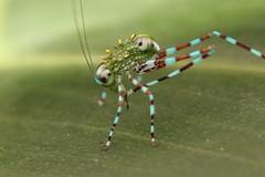 Bush cricket nymph (Scrubmuncher) Tags: bushcricket orthoptera nymph insect macro peru