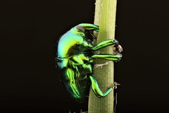 Eurhinus sp (Scrubmuncher) Tags: eurhinus weevil vines insect macro peru