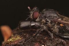 Robbery fly with bark beetle prey (Scrubmuncher) Tags: asilidae robberfly diptera insect barkbeetle scolytidae predator prey macro peru
