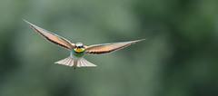 Guêpier d'europe (Guillaume Dardant) Tags: nature sauvage oiseaux bird loiret loire d810 nikon 500mmf4 méropidé guêpierdeurope coraciiformes meropsapiaster affût europeanbeeeater