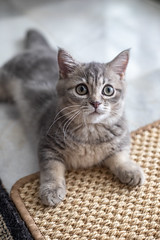 (Just Juls▲) Tags: kitten munchkin feline pet scottish fold animal cute adorable cat